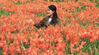 Wisata Bunga Amarilis gunungkidul