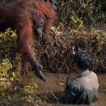Fotografer Amatir menangkap momen emosional antara Orangutan dan Manusia.