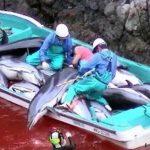 Pembantaian besar-besaran Lumba-Lumba di Jepang, hal ini merupakan kegiatan Legal.