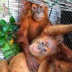 Ilustrasi anakan Orangutan. (Foto: Mongabay)