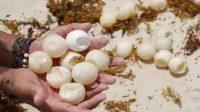 Telur Penyu yang diperjual belikan secara ilegal.