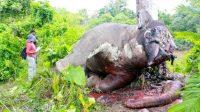 Ilustrasi Gajah dibantai. (Foto: Mongabay)