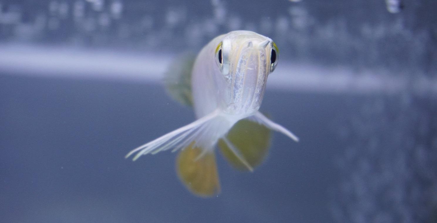 Ikan Arwan Golden Red HB